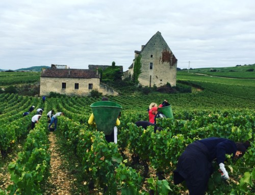 Vendanges 2017 des Chassagne-Montrachet 1er cru